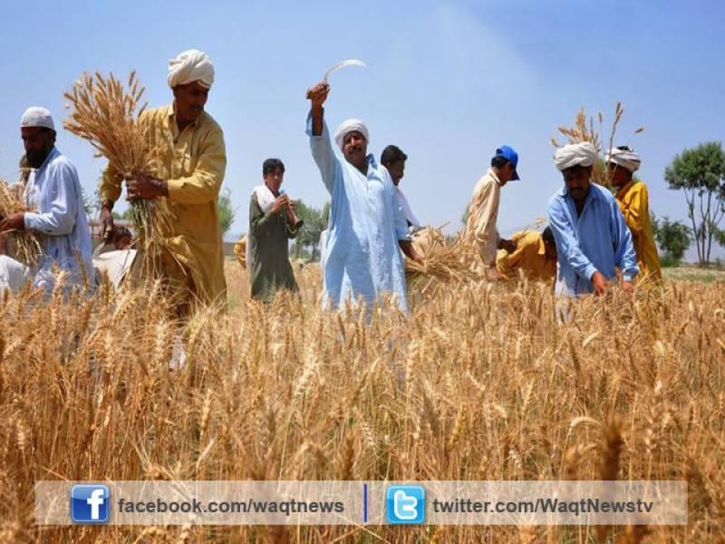 رواں ہفتے کے دوران گندم کی کٹائی کے بیشتر میدانی علاقوں خصوصاً پنجاب میں موسم گرم اور خشک رہے گا۔