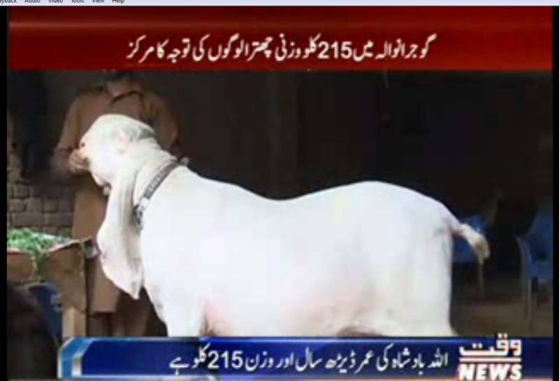 ہیوی ویٹ اللہ بادشاہ نامی  چھترا  آل پاکستان کچلا چھترا شو میں وزن اور خوبصورتی  کا مقابلہ بھی جیت چکا ہے۔
