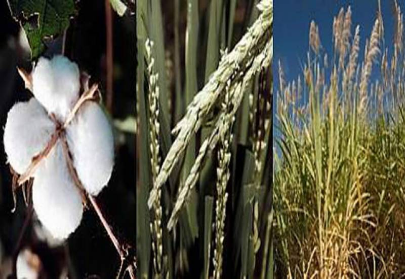 پنجاب میں گزشتہ سال کے دوران گندم کپاس،چاول کی پیداوار میں ریکارڈ اضافہ ہواہے۔ محکمہ زراعت