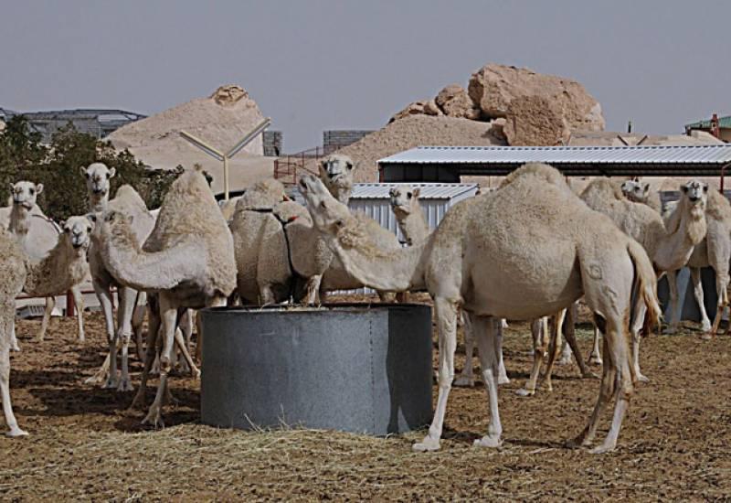 سعودی عرب: اونٹوں کی پرورش اور نگہداشت کے لیے خصوصی قصبہ قائم کرنے کی منظوری