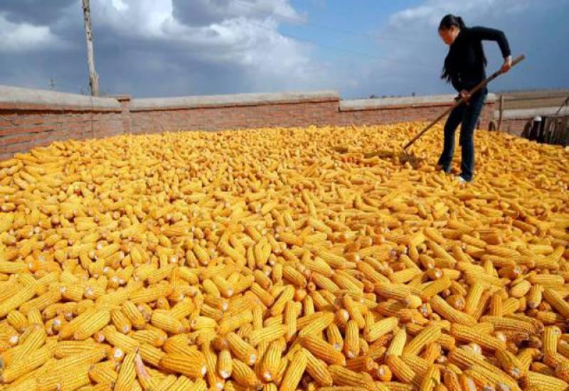 رواں سیزن کے دوران چین کی مکئی کی پیداوار میں 5.5 فیصد کمی کا امکان