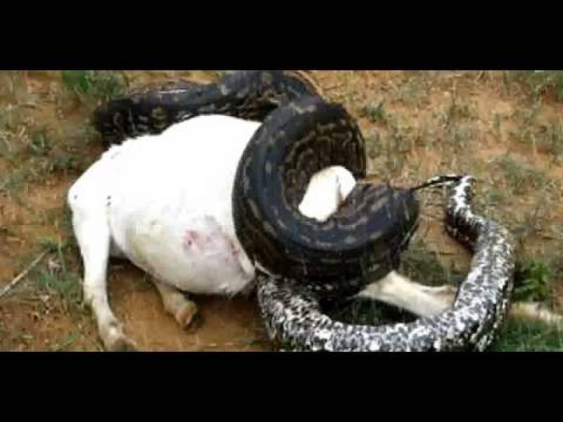 امریکی ریاست فلوریڈا میں ایک شخص نے اپنی بکری کھانے والے سانپ کو گولیوں سے چھلنی کر ڈالا