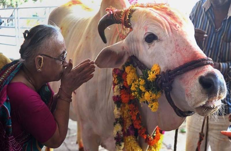 بھارتی گائے کی محبت میں پاگل ہو گئے۔ گوشت کھانے والوں کو پھانسی دینے کا مطالبہ کر دیا۔