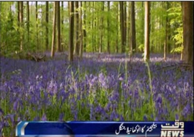 بیلجئم میں ایک جنگل ایسا بھی ہے جو مئی اور جون  کے مہینے میں نیلا ہوجاتا ہے