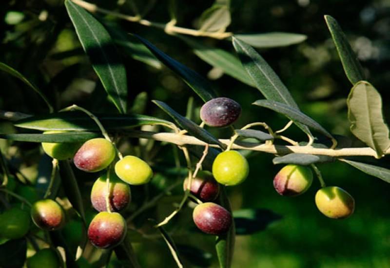 پوٹھوہار وادی میں 15ہزار ایکڑ پر زیتون کے درخت لگانے کا منصوبہ