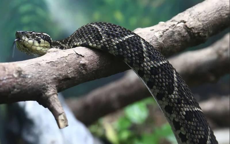 برازیلی سانپ کے زہر سے کروناوائرس کے اعلاج کا انکشاف