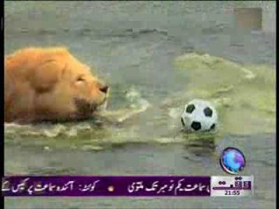 Lion Playing Football 12 October 2011