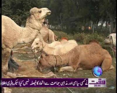 Lahore Goat Market News Package 03 November 2011