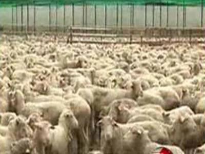 آسٹریلیا سے بیمار بھیڑیں منگوانے والے تاجر کے خلاف مقدمہ درج کرلیا گیا ہے جبکہ بھیڑوں کی تلفی کا عمل بھی جاری ہے۔
