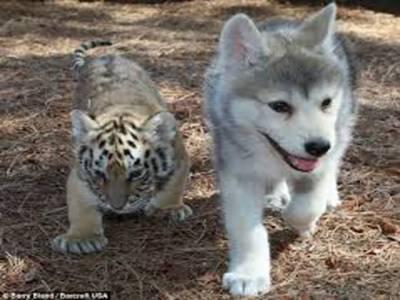 دوستی میں رنگ اور نسل کی کوئی قید نہیں،امریکہ کے سان ڈیاگو چڑیا گھر میں سات ماہ کے چیتے اور کتے کی دوستی کے چرچے دور دور تک پھیل گئے