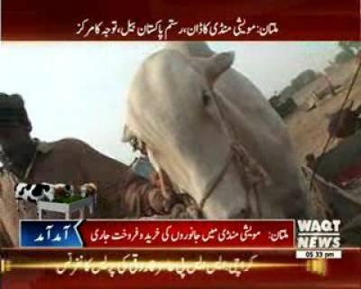 Big Cow Rustam Famous In Multan