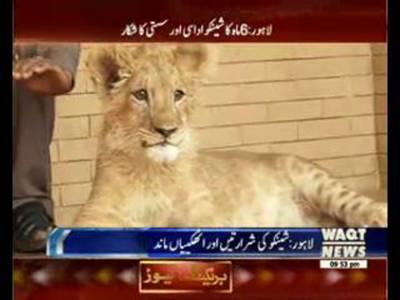 LAHORE ZOO, Shifting of SHENKO (Lion CUB) made it Sad