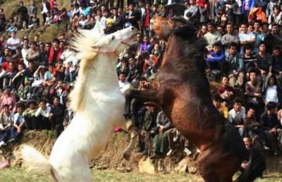 مرغوں اور کتوں کی لڑائیاں ہوئیں ماضی کا حصہ, چین میں نئے قمری سال کے موقع پر گھوڑوں کی لڑائی