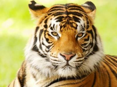 Bengal tiger dies of 'kidney failure' at Karachi zoo