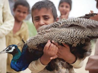 Mysterious disease Ranikhet killed 38 peacocks during this week in Thar desert