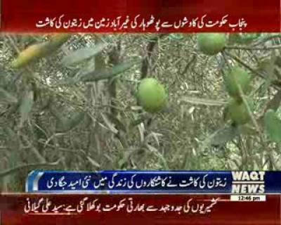 پنجاب حکومت کی کاوشوں سے زرعی سائنسدانوں نے اسے زيتون کی وادی ميں بدلنے کی کوششيں شروع کردیں