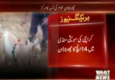کراچی کی مویشی منڈی میں 14انچ کا چھوٹا ڈان