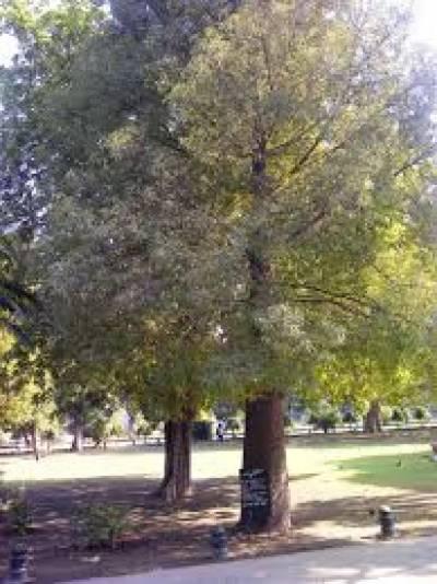 ۔جناح باغ لاہور میں تقریبا دو سو سال پرانا کافور کا درخت بے پناہ فوائد سے مالا مال ہے