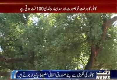جناح باغ لاہور میں تقریبا دو سو سال پرانا کافور کا درخت بے پناہ فوائد سے مالا مال