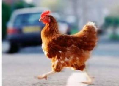 سکاٹ لینڈ: مصروف سڑک عبور کرنے پر مرغی گرفتار مالک کی تلاش کیلئے جانوروں کی تنظیم سے رابطہ کرلیا گیا