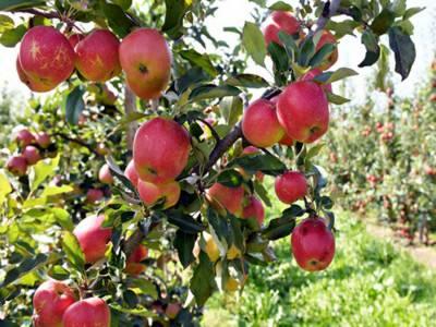 سیب ایک کرشماتی پھل اور اس کے بہت سے فوائد ہیں۔