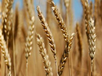 زیادہ گندم زیادہ خوشحالی: محکمہ زراعت کی جانب سے کاشتکاروں کومفید مشوروں کی فراہمی کیلئے ایس ایم ایس ہیلپ لائن کااجراء