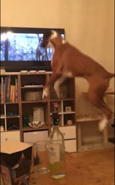 جانور کسی اشتہار سے متاثر ہوکر عجیب و غریب حرکتیں کرنا شروع کردے تو نہ صرف جانور کو بلکہ اس ٹی وی اشتہار کو بنانے والے کو داد دینا تو بنتی ہے