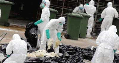 ہالینڈ میں برڈ فلو کے ڈر سے 2 لاکھ کے قریب بطخوں کو ہلاک کر دیا گیا