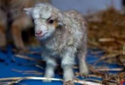 چین میں انتہائی نفیس اون والی کلون بکری کی پیدائش
