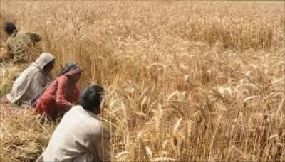 گندم کے کاشتکار ضرورت سے زیادہ آبپاشی نہ کریں: محکمہ زراعت کی ہدایت