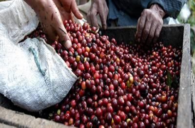 مغربی ممالک میں سردی کی شدت میں اضافے کے باعث ویتنامی کافی کے نرخ ریکارڈ سطح ہر پہنچ گئے۔