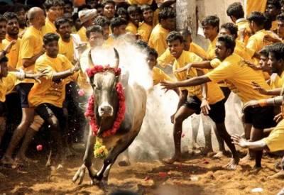 بھارتی ریاست تامل ناڈو اسمبلی میں جلّی کٹّو کی اجازت دینے کا بل منظور