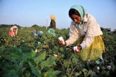 بھارتی کپاس کی درآمد پر 56 روپے فی کلو تک ڈیوٹی عائد