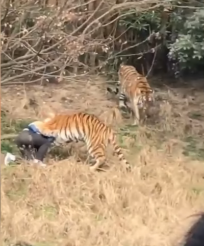 چین کے چڑیا گھر میں شیروں نے حملہ کر کے ایک شخص کو مار ڈالا