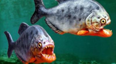 پرانہ مچھلی کسی بھی جاندار چیز کا منٹوں میں صفایا کر دیتی ہے