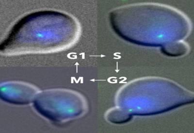چینی سائنسدانوں نے مصنوعی خمیری خلیے تیار کر لئے۔