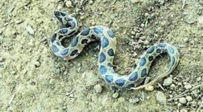پیاسا سانپ پانی کی تلاش میں آبادی کے پاس چلا آیا