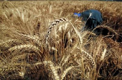 مصر کی حکومت کا کسانوں سے 3.8 ملین ٹن گندم کی خریداری کا فیصلہ