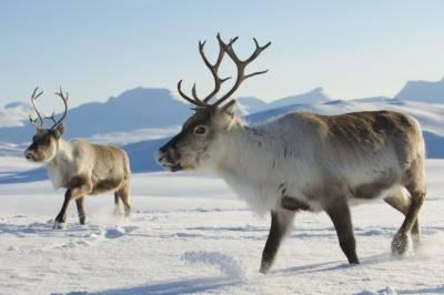 ناروے میں 2 ہزار قطبی ہرنوں کو ہلاک کرنے کا حکم