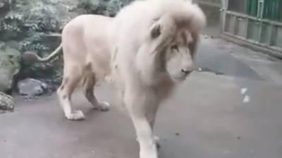 برطانیہ میں جنگل کا بادشاہ شیر ڈرپوک ثابت ہوا جب وہ ایک بلبلے کے پھٹنے سے ڈر گیا