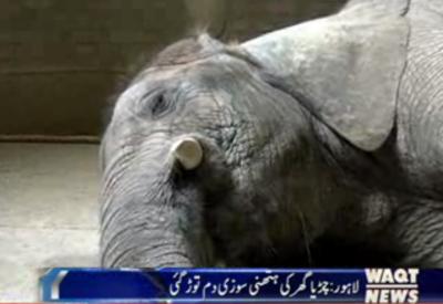 Kids favourite Suzi dies at Lahore Zoo