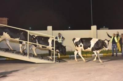 دودھ کی ضرورت پوری کرنے کیلئے جرمنی سے گائیں قطر پہنچ گئیں۔
