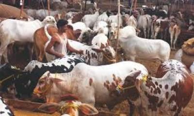 کراچی میں قائم کی گئی عارضی مویشی منڈیوں میں جانور اندرون سندھ اور زیریں پنجاب سے لائے جارہےہیں