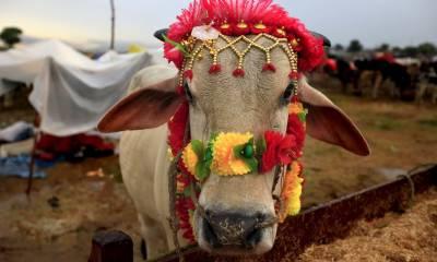 لاہورکی مویشی منڈی میں رونق بڑھانے والے بھاری بھرکم قربانی کے جانوروں کا ہے