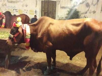 عید الاضحیٰ قریب آتے ہی اسلام آباد کی بہارہ کہو مویشی منڈی میں گہما گہمی بڑھ گئی