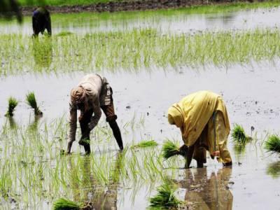 5 سال میں پانی کھڑا کئے بغیر چاول کی کاشت عام ہو جائے گی۔