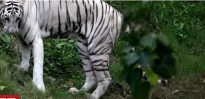 انڈیا کی جنوبی ریاست کرناٹک میں دو نایاب سفید شیروں نے ایک رکھوالے پر حملہ کر کے اسے ہلاک کر ڈالا ہے
