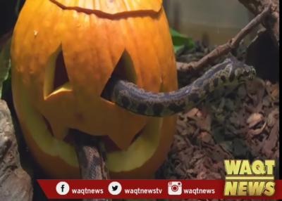 ہیلووین تہوار کی مناسبت سے جانوروں کیلئے دعوت کا اہتمام
