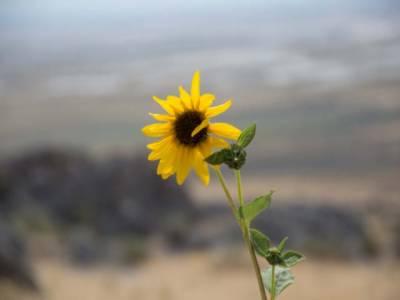 سورج مکھی کا پھول سموگ کوکم کرنے میں اہم کردار ادا کرتاہے۔ طلبہ ڈگری کالج قصور