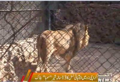 کراچی زو میں سمبا نامی ایشیائی نسل کا شیر ہلاک ہو گیا، عمر13 سال تھی